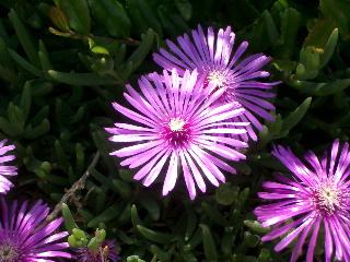 taniku_flower.jpg